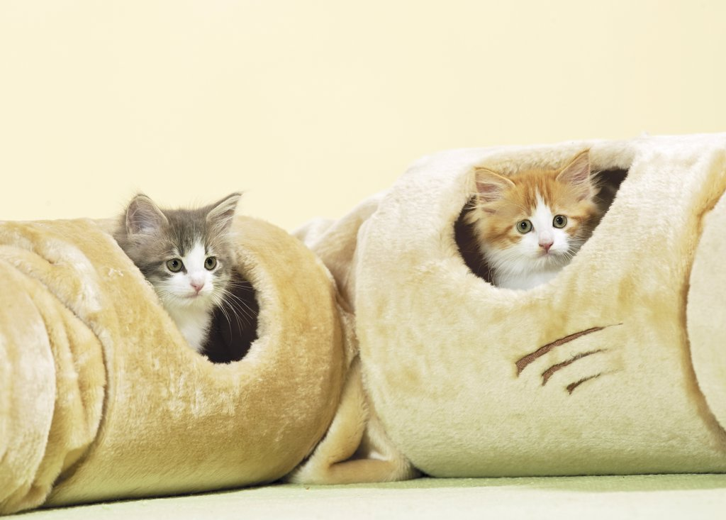 Stock Photo: 4279-26119 two Maine Coon kittens in tunnel