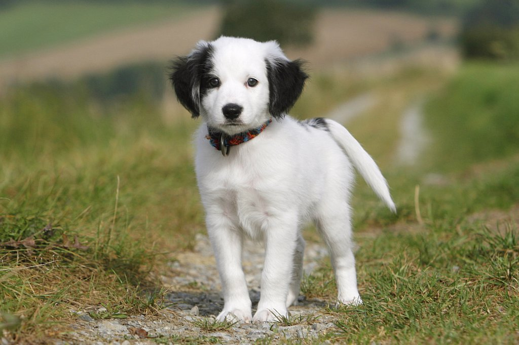 half breed puppy - standing : Stock Photo