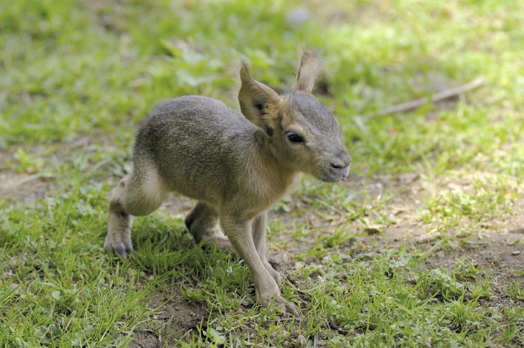 Stock Photo: 4279-26214 Patagonian Mara - cub, Dolichotis patagonum