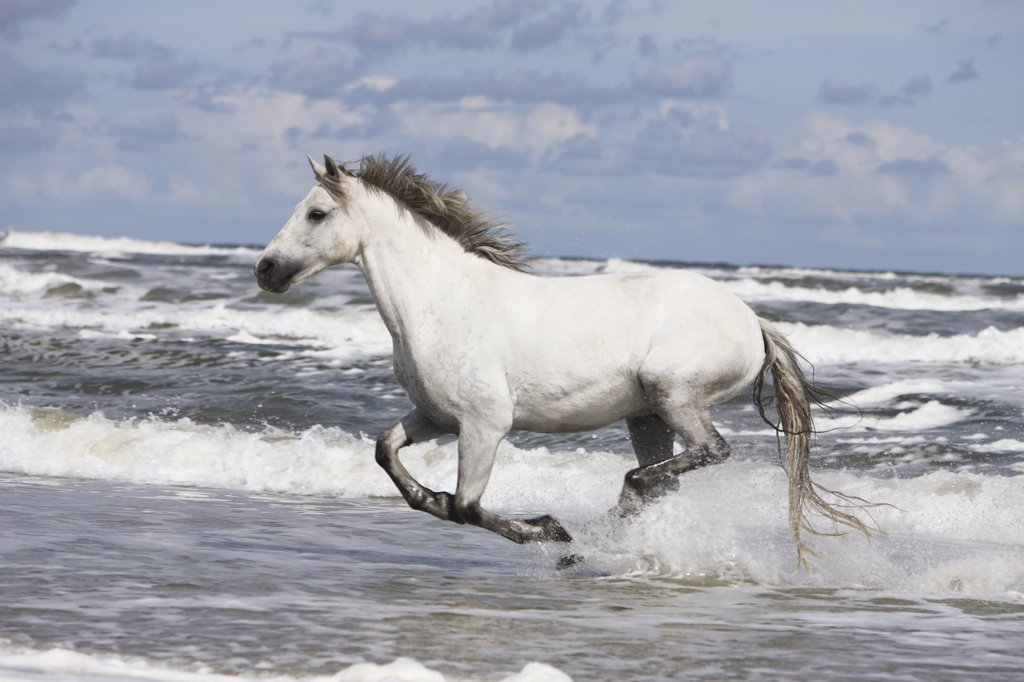 connemara - galloping in the ocean : Stock Photo