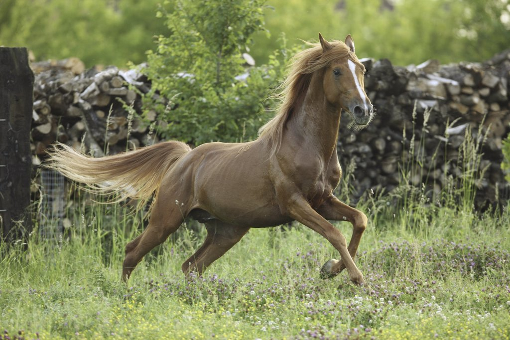 Gidran-Arabian horse - galloping on meadow : Stock Photo