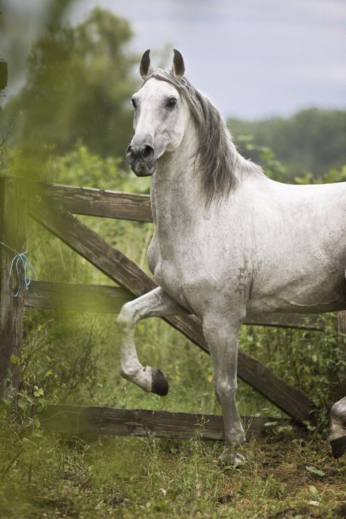 Stock Photo: 4279-26288 Lusitano - walking