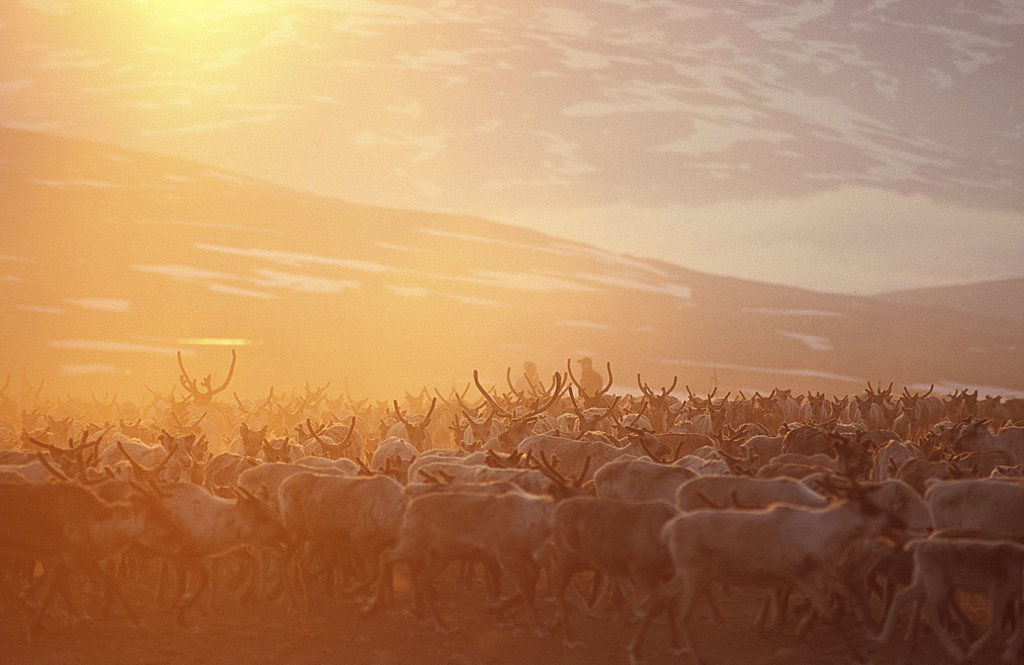 Stock Photo: 4279-26339 reindeers - branding
