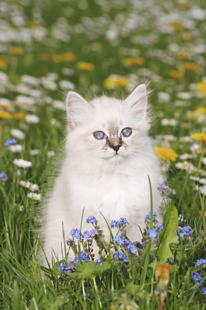 Stock Photo: 4279-26437 Sacred cat of Burma kitten - sitting on meadow