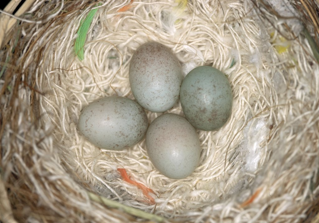 Stock Photo: 4279-26499 canary - nest with 4 eggs ,