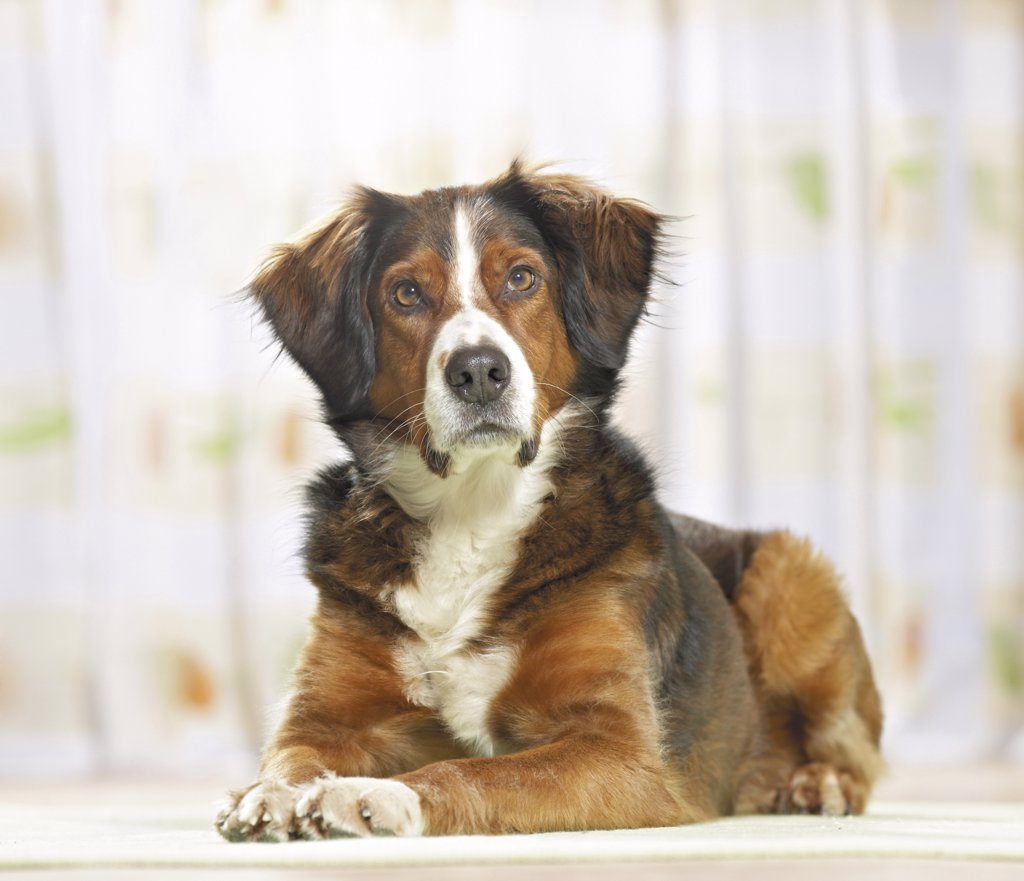 Stock Photo: 4279-26540 half breed dog - lying ,