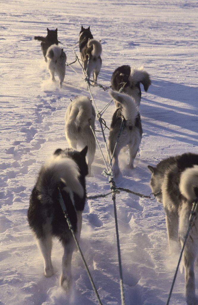 huskies - pulling sledge : Stock Photo