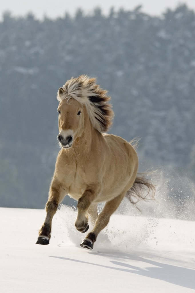 norwegian horse - galloping in snow : Stock Photo
