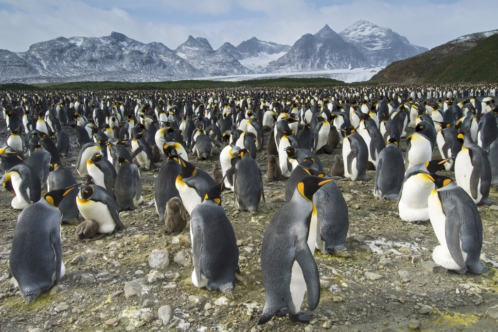 king penguins - colony, Aptenodytes patagonicus : Stock Photo