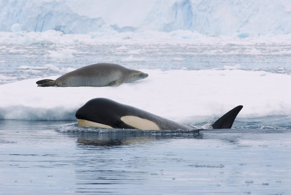 Stock Photo: 4279-26883 Crabeater seal on ice floe next to Orca