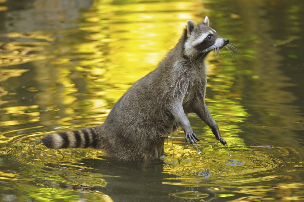 raccoon - standing in water : Stock Photo
