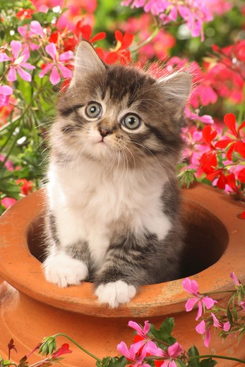 Stock Photo: 4279-27076 kitten in flowerpot