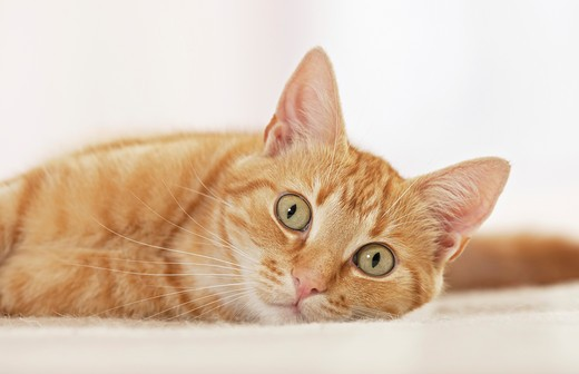 Stock Photo: 4279-27136 domestic cat - lying - cut out