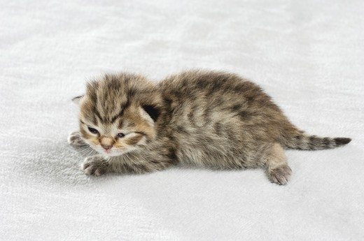 Stock Photo: 4279-27205 British Shorthair kitten (eight days) - lying on blanket