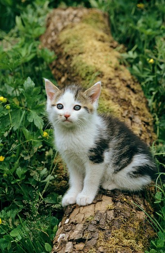 Stock Photo: 4279-27506 kitten - sitting on tree trunk