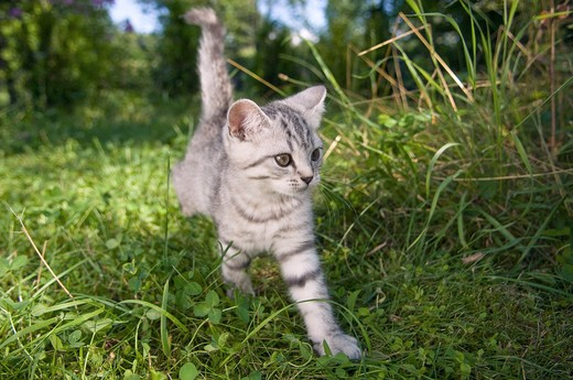 British Shorthair kitten 10 weeks - walking on meadow : Stock Photo