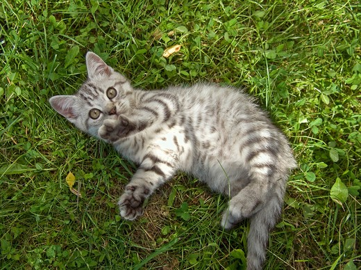Stock Photo: 4279-27594 British Shorthair kitten 10 weeks - lying on meadow