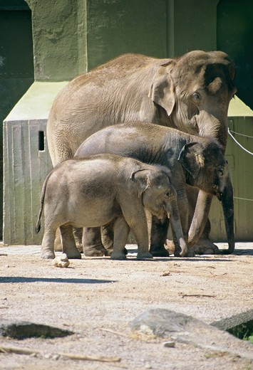 Stock Photo: 4279-27622 Asiatic elephant with two cubs in the zoo, Elephas maximus
