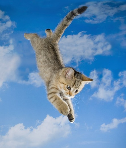 Stock Photo: 4279-27648 British Shorthair kitten ten weeks - jumping