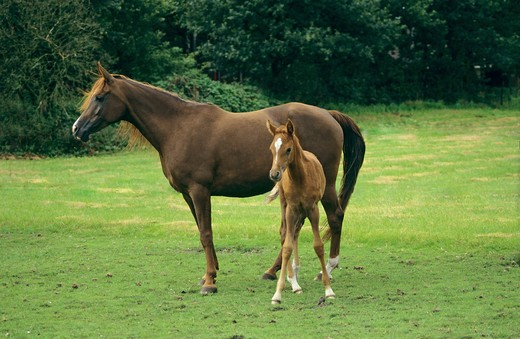 Stock Photo: 4279-27683 Asil-Arabian horse with foal - standing on meadow