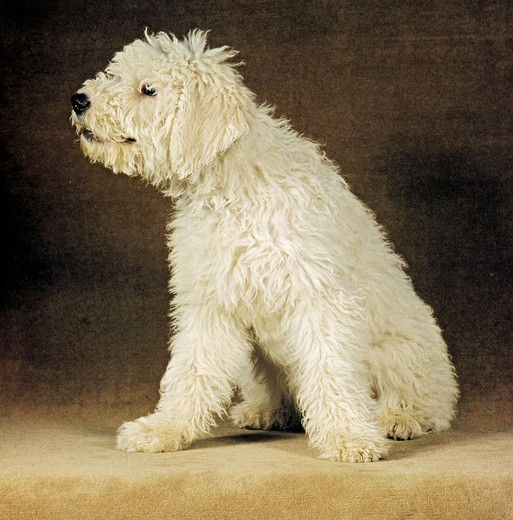 Stock Photo: 4279-27720 Hungarian Komondor - sitting - cut out