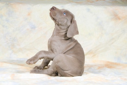 Stock Photo: 4279-27774 Weimaraner puppy - sitting - cut out
