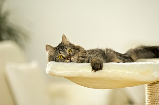 Stock Photo: 4279-27818 tabby cat - lying on scratching post