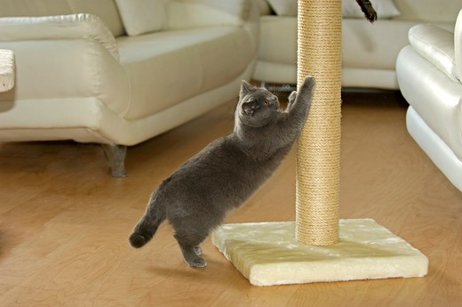 Carthusian cat at scratching post : Stock Photo
