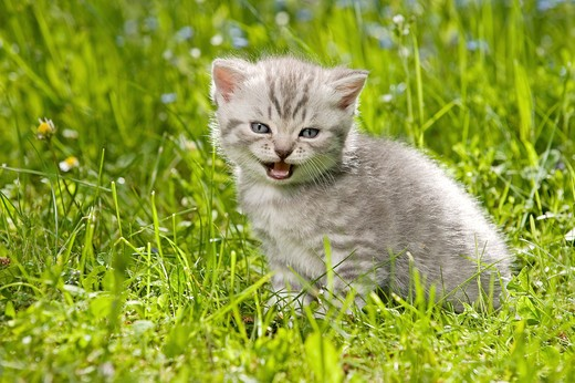 Stock Photo: 4279-27828 British Shorthair cat - kitten four weeks sitting on meadow