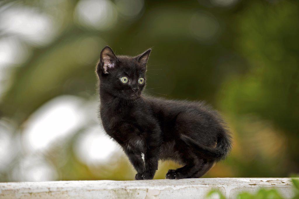 Stock Photo: 4279-27874 black kitten - standing on wall