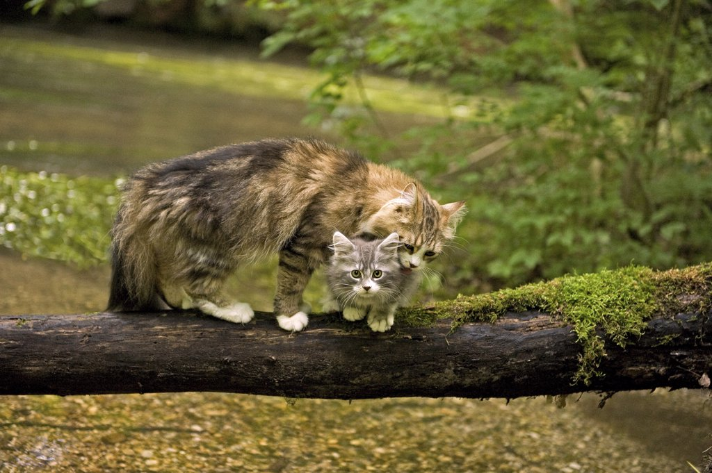 Stock Photo: 4279-27917 Maine Coon cat with kitten on tree trunk