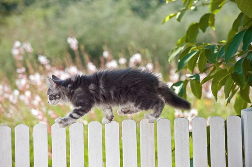Maine Coon cat - kitten on fence : Stock Photo