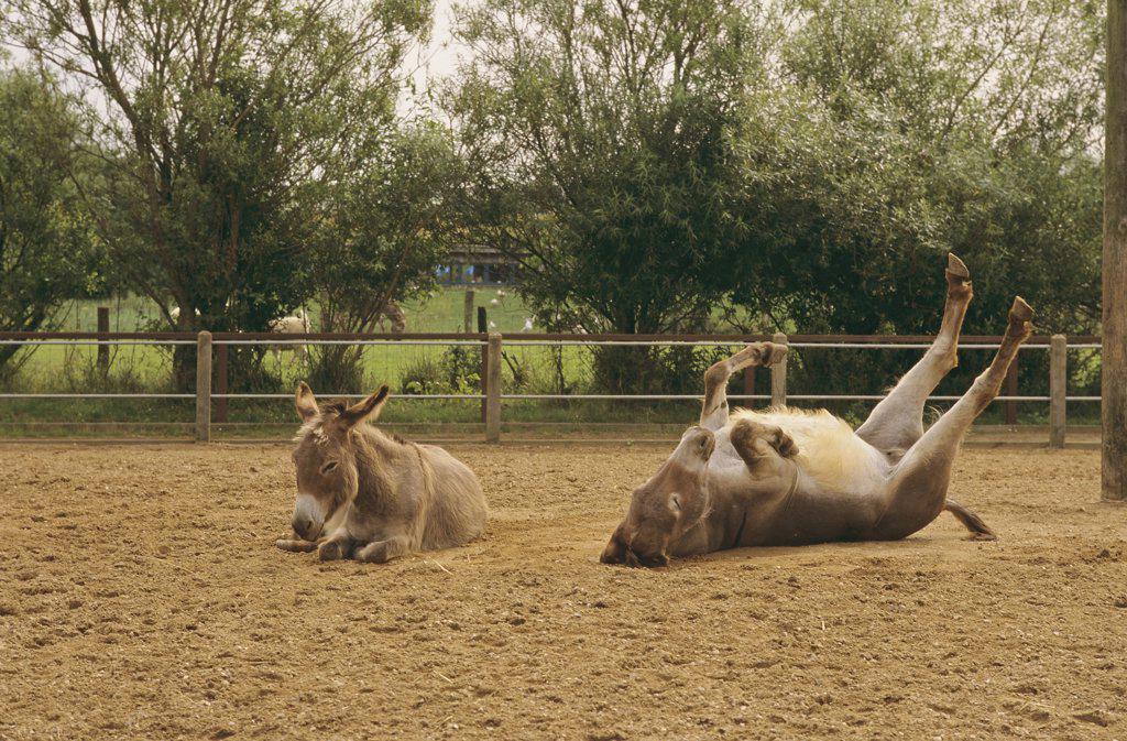 two dwarf donkeys - lying : Stock Photo
