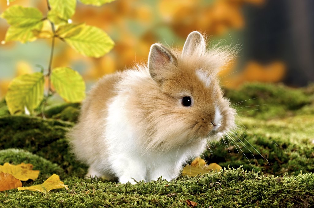 Stock Photo: 4279-28316 lion-headed dwarf rabbit on moss