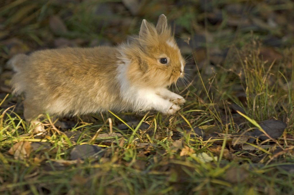 lion-headed dwarf rabbit on meadow : Stock Photo