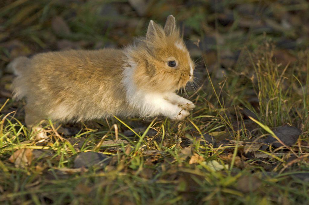 Stock Photo: 4279-28344 lion-headed dwarf rabbit on meadow