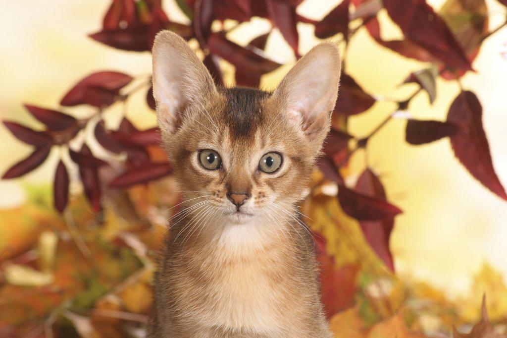 Stock Photo: 4279-28467 Abyssinian cat - kitten - portrait