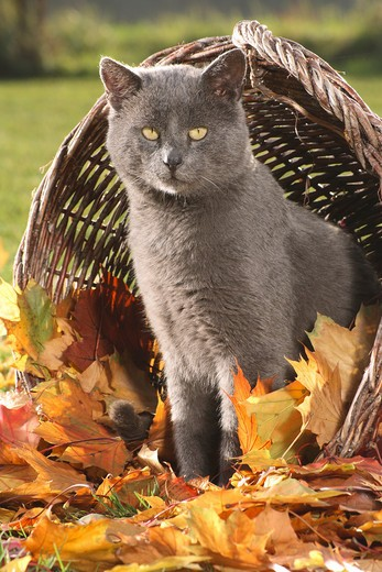 grey cat - standing in basket with autumn foliage : Stock Photo