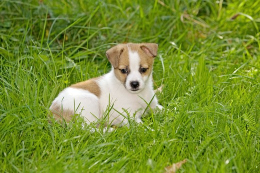 Stock Photo: 4279-28631 half breed dog puppy - lying on meadow