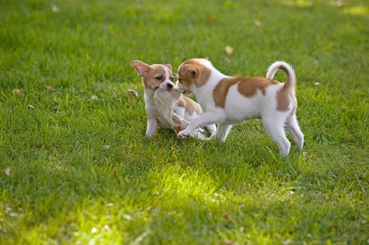 two half breed dog puppies - playing on meadow : Stock Photo