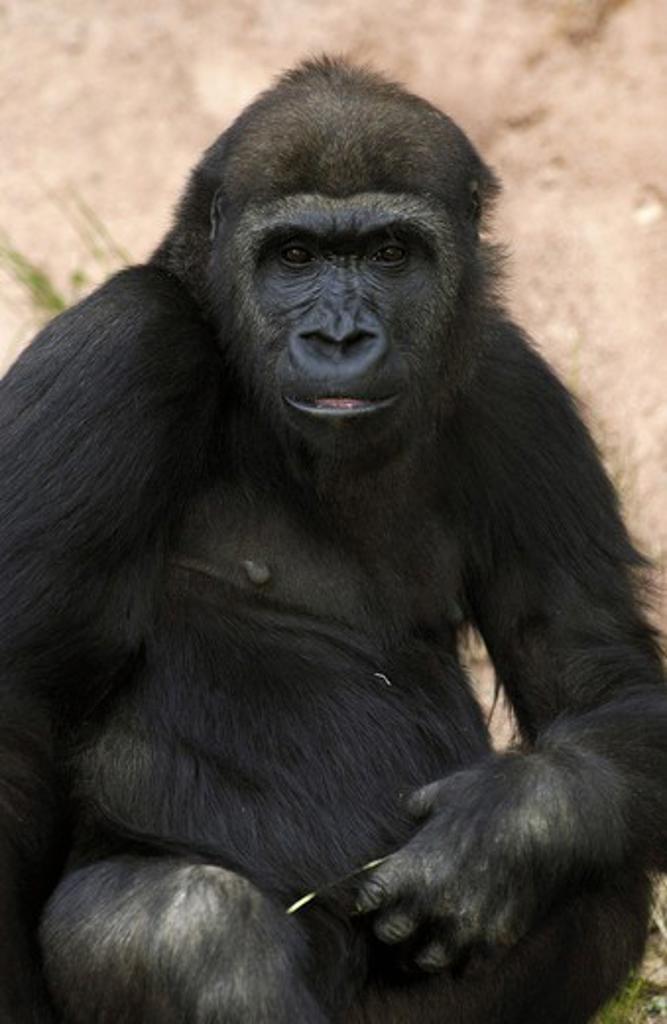 Stock Photo: 4279-2889 lowland gorilla, Gorilla gorilla gorilla