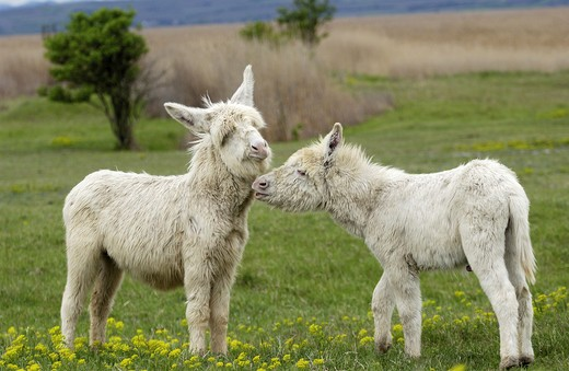 Stock Photo: 4279-2890 two white burros, donkey
