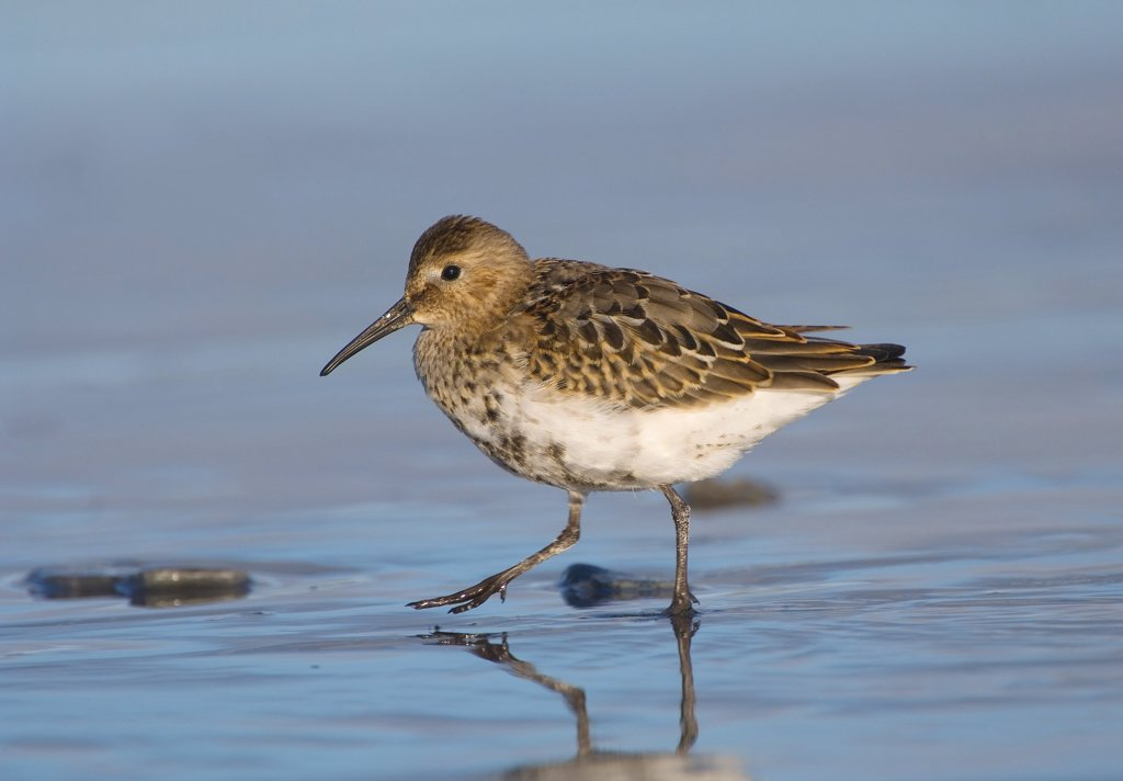 Stock Photo: 4279-28964 Dunlin - walking in water, Calidris alpina