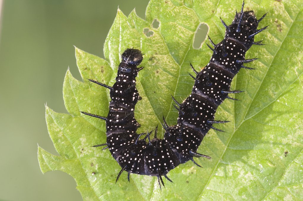 Stock Photo: 4279-29054 European peacock - caterpillar, Inachis io