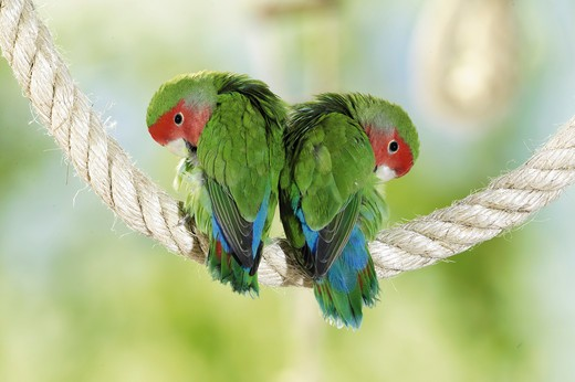 Stock Photo: 4279-2919 two peach-faced lovebirds on a rope, Agapornis roseicollis