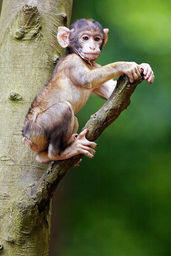 Stock Photo: 4279-29340 Barbary Macaque - cub on tree, Macaca sylvanus
