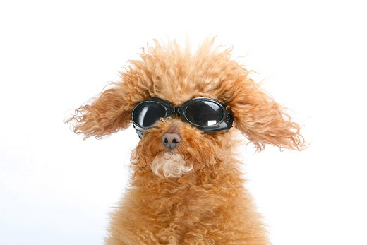 Stock Photo: 4279-29349 Toy poodle with sunglasses - cut out