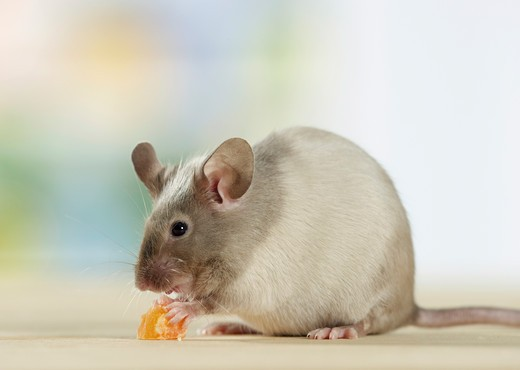 Stock Photo: 4279-29380 fancy mouse - munching - cut out
