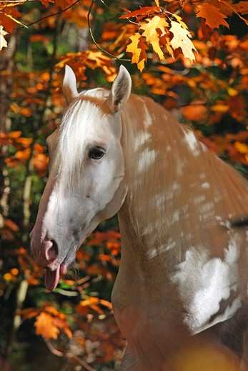 Stock Photo: 4279-29422 Kladruber horse - portrait