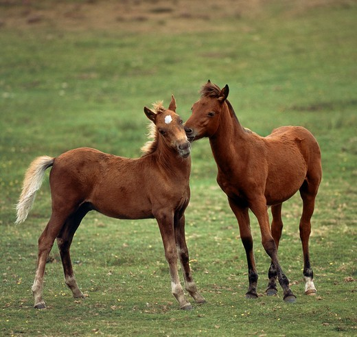 Stock Photo: 4279-2955 pony - foal playing on meadow
